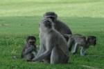 ss_resort_monkeys