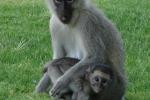 ss_resort_monkeys2